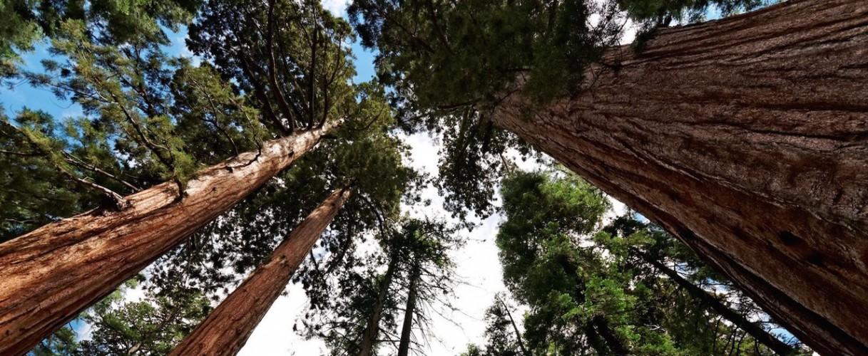 The-Mariposa-Grove-of-Giant-Sequoias2 (1)