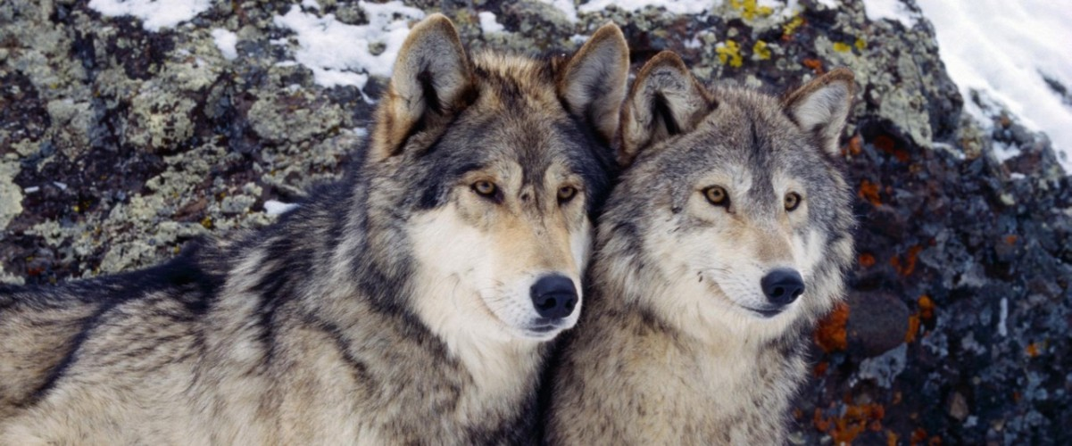 Winter__season__animals_wolves_500