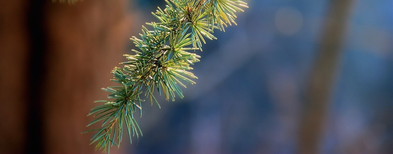 pine-branches-251114 (3)