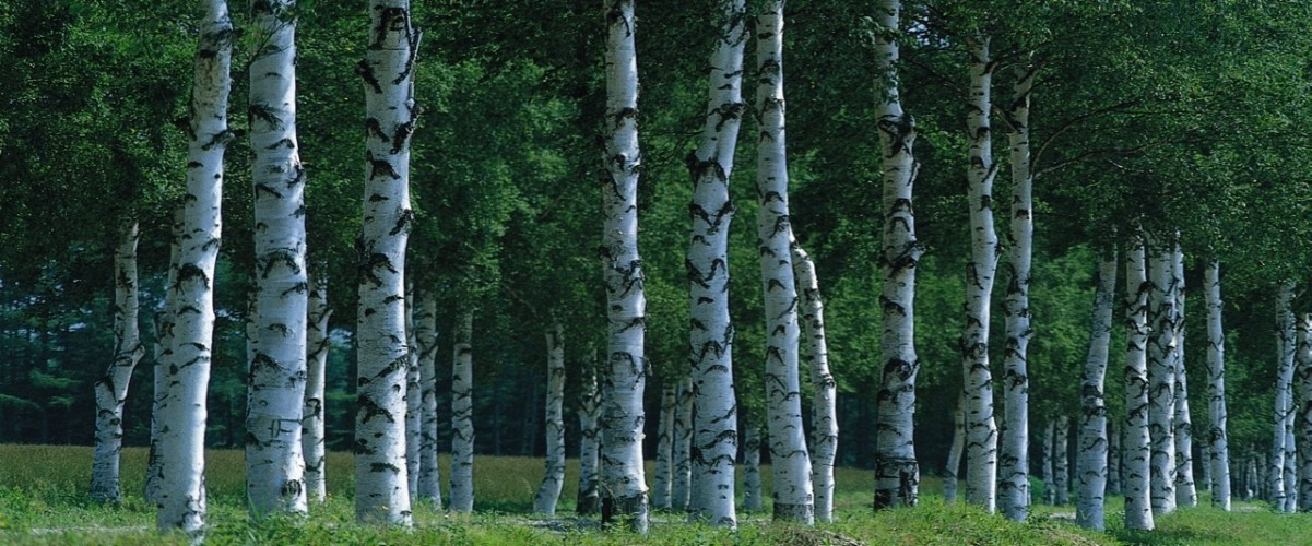 birch_grove_forest_500
