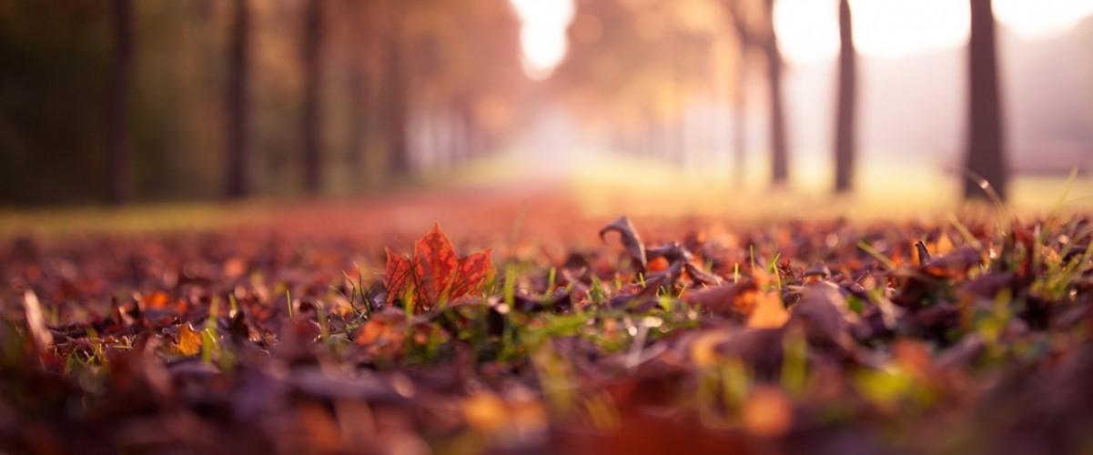 leaves_maple_500